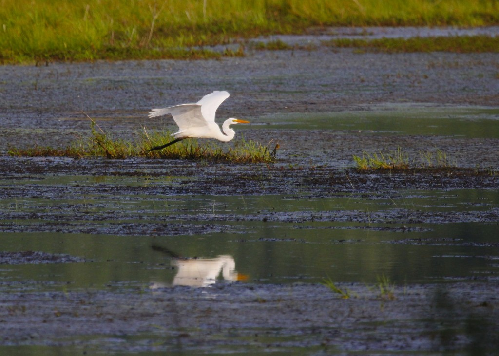 One of ten Great Egrets out at Wallkill River NWR, 7/20/13.