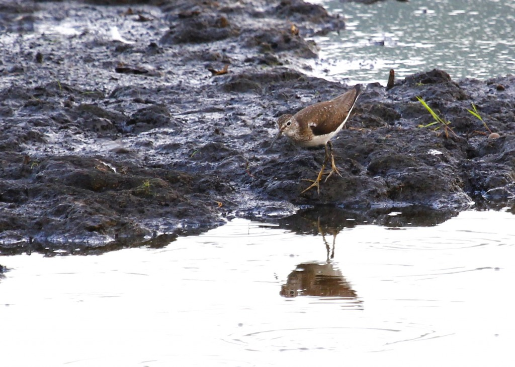 I have this as a Solitary Sandpiper, Wallkill River NWR 7/20/13.