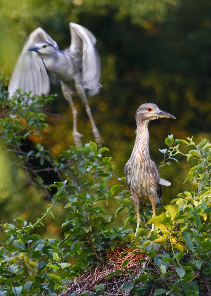 Adult and juvenile Black-crowned Night Herons out at Wallkill River NWR, 7/20/13.