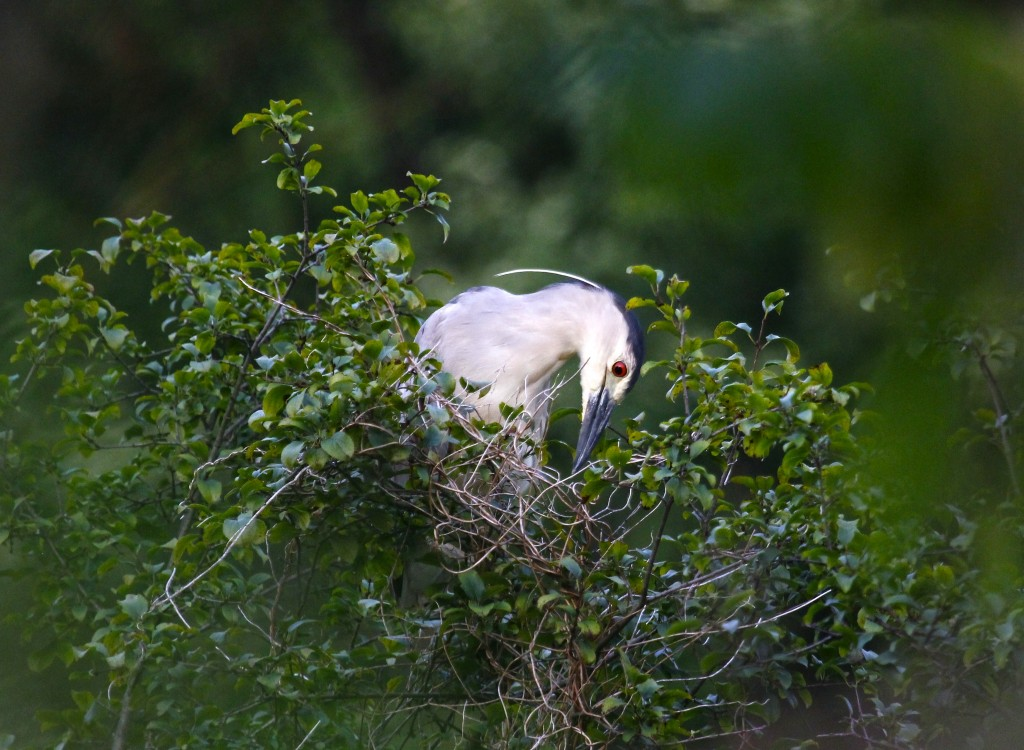 I see so many photos of BCNHs showing the white head plume - this is the first time I've gotten any showing it.