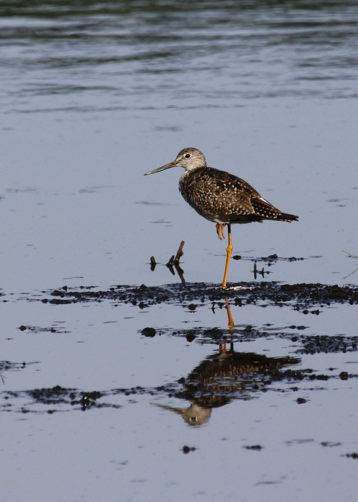 One of four Greater Yellowlegs at the refuge on 7/24/13.