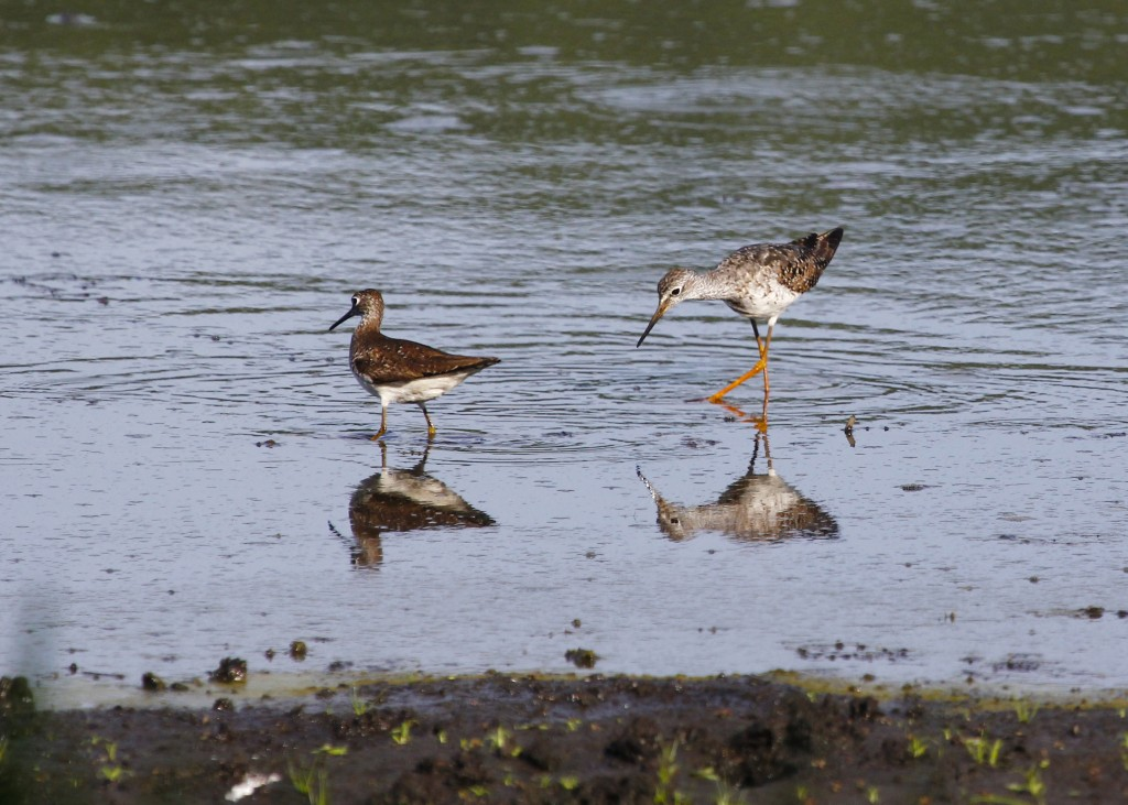 A Solitary Sandpiper and a Lesser Yellowlegs at the refuge on Wednesday 7/24/13. I don't love this photo but I like seeing the two birds together.