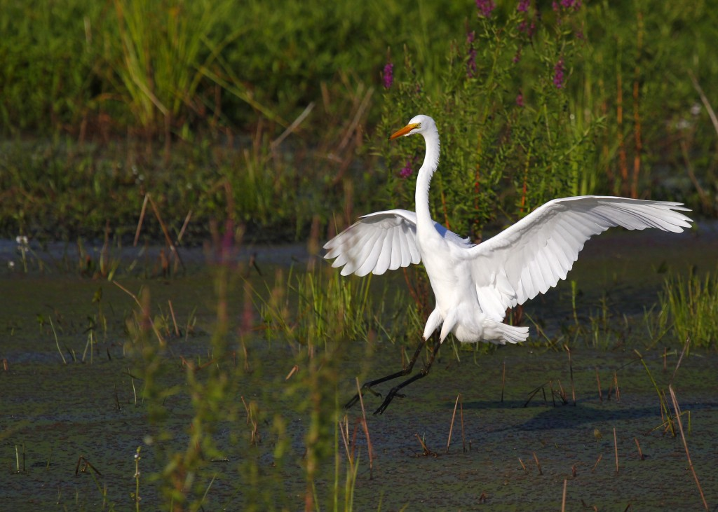 Great Egret at the refuge this morning, 7/27/13.
