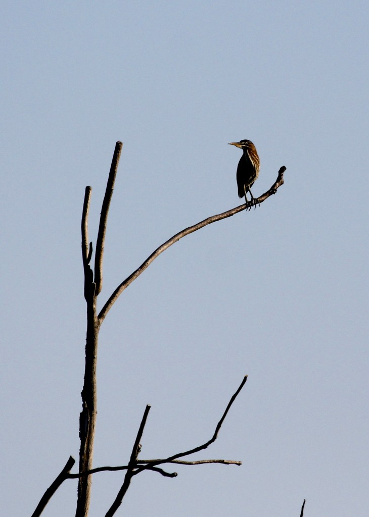 I've been seeing a hearing plenty of Green Herons at the refuge, but not getting close enough for any good photos. Wallkill River NWR 7/27/13.