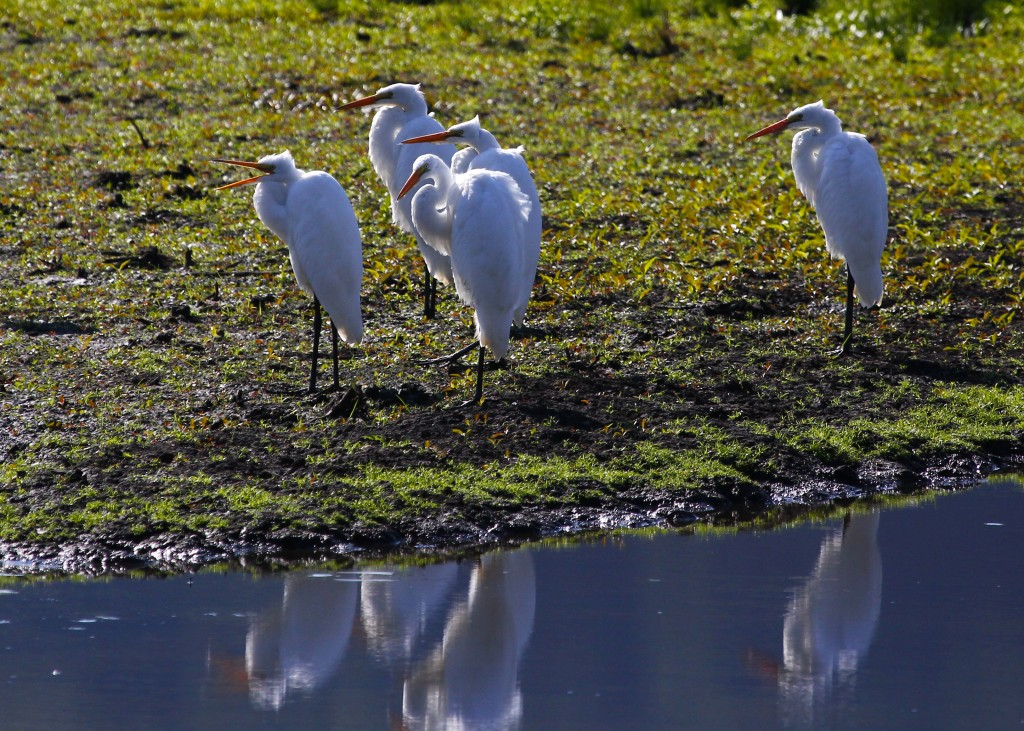 Who's gonna mess with this crew? Not me. Five of six Great Egrets at Wallkill River NWR 7/27/13.