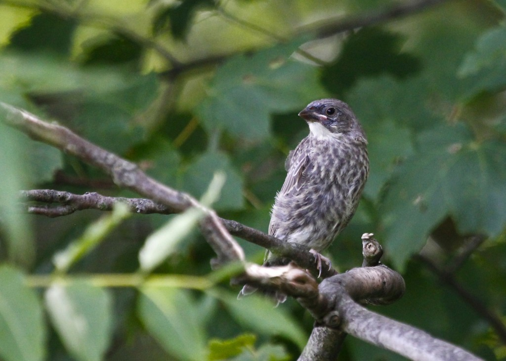 I was with Karen Miller and Sharon when we found this bird. We were all stumped, and after getting home and looking briefly in some books I'm guessing a young Brown-headed Cowbird, but I'm still not really sure. Please comment if you can I.D. this bird! Thanks.