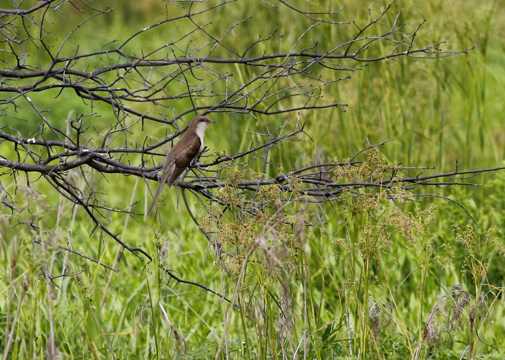 Black-billed Cuckoo at Walkill River NWR, 7/31/13.