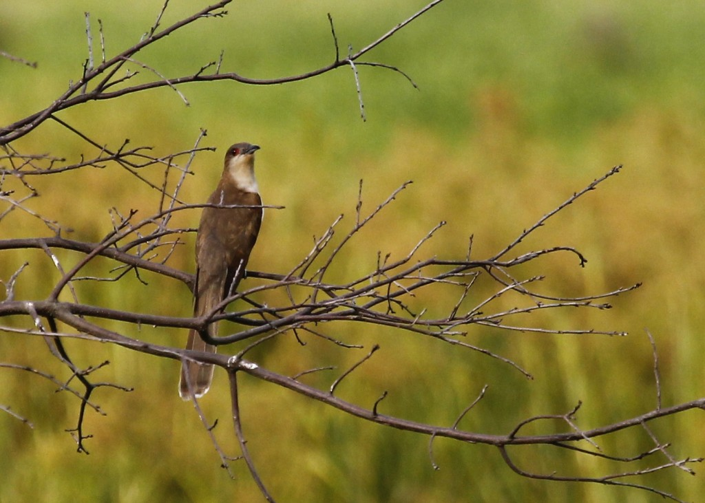 A very exciting find for me - Black-billed Cuckoo out at Wallkill River NWR 7/31/13.