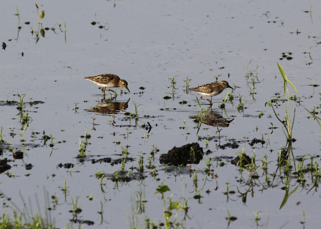 Two of the nine Least Sandpipers that I saw out at the Wallkill River NWR, 7/31/13.