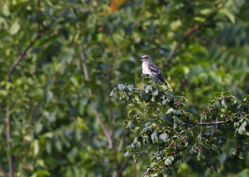 This looks like a young Northern Mockingbird to me. It was with two other mockingbirds that appeared to be adults. Wallkill River NWR 7/31/13.