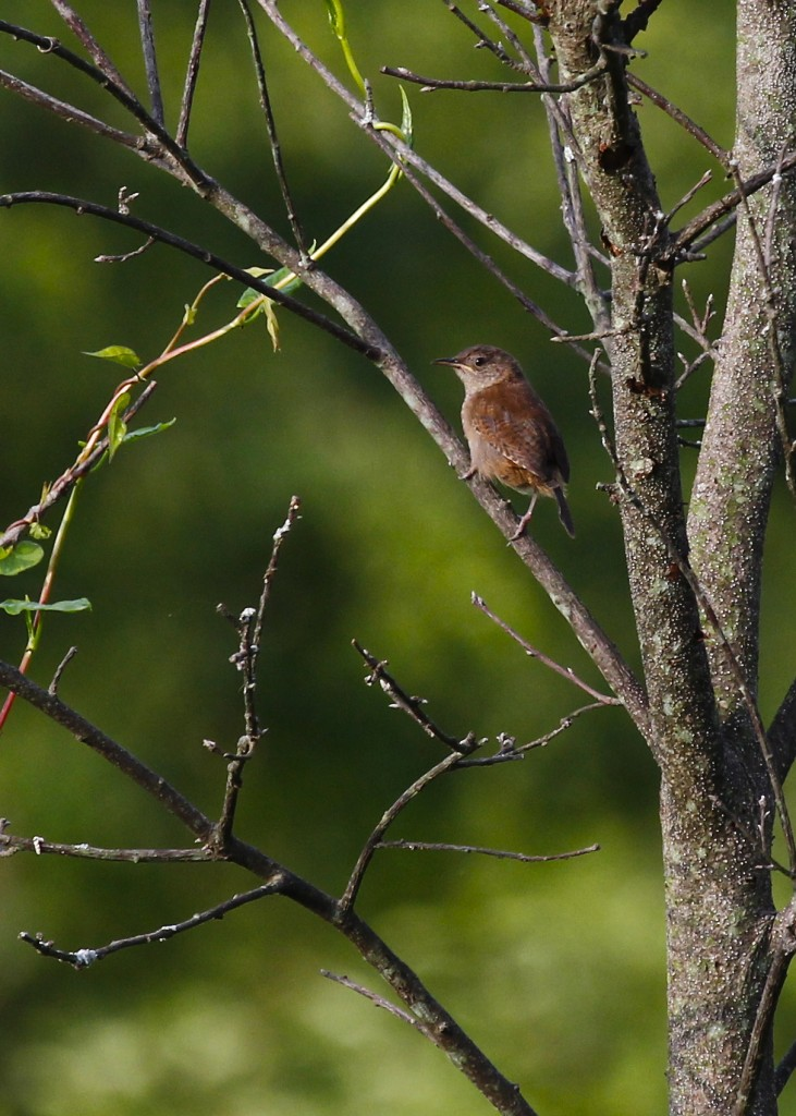I love this little bird but don't really see them very often. Again, I think this is a young House Wren, one of two perched in the same tree.