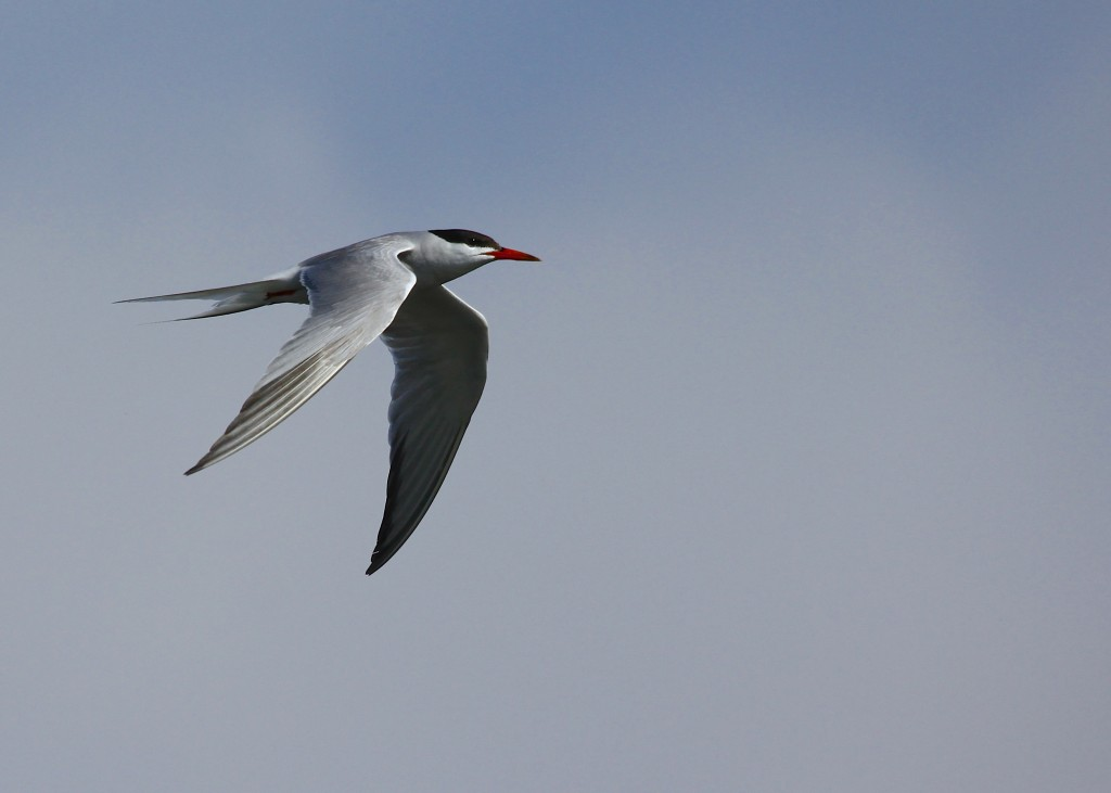Common Tern in flight at the Beach Club in Oakdale NY,, 8/3/13.