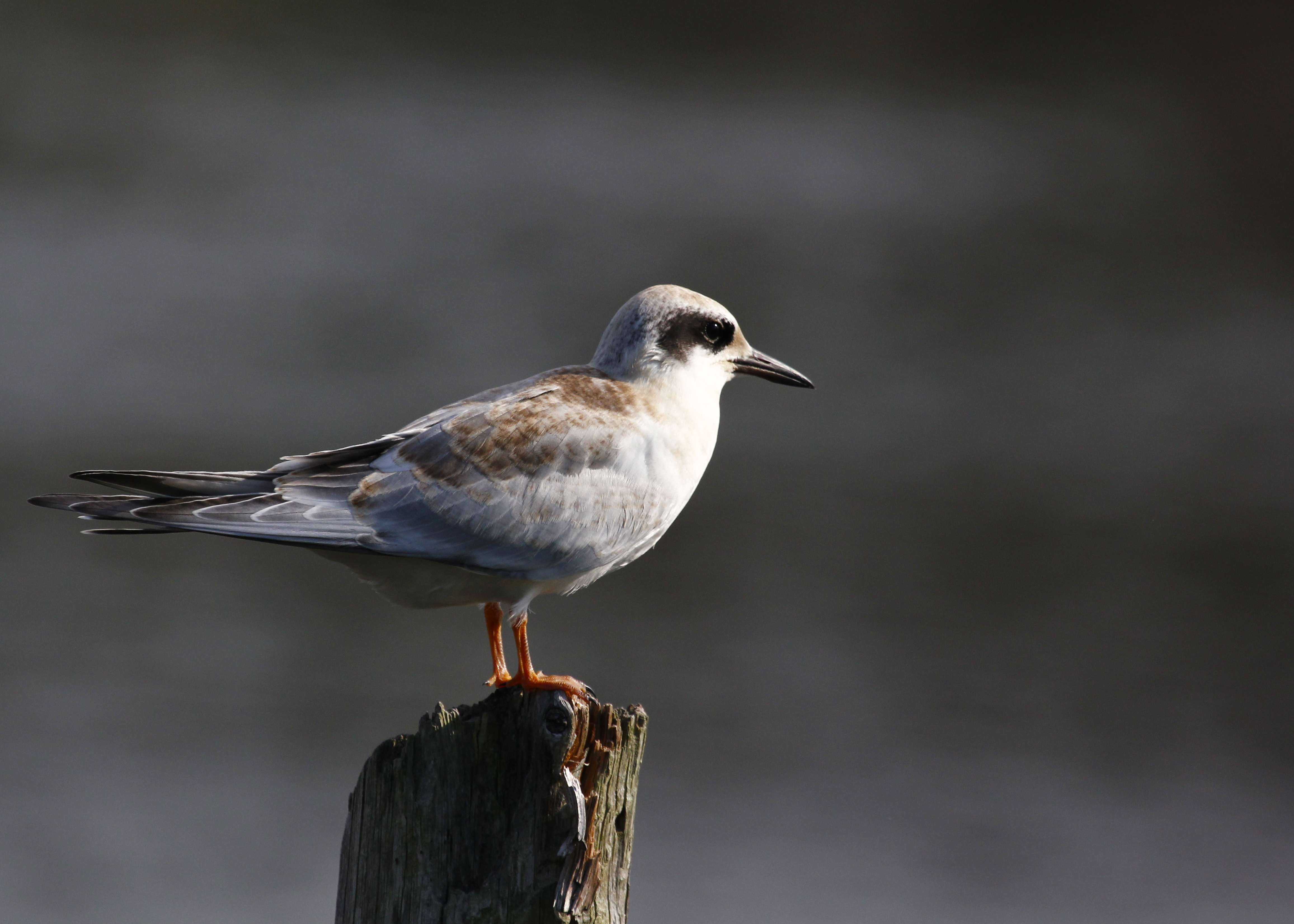 I have this as a juvenile Forster's Tern. Oakdale NY 8/3/13.