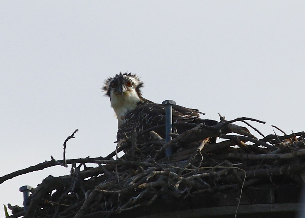 Roadside Osprey in Oakdale NY 8/3/13.