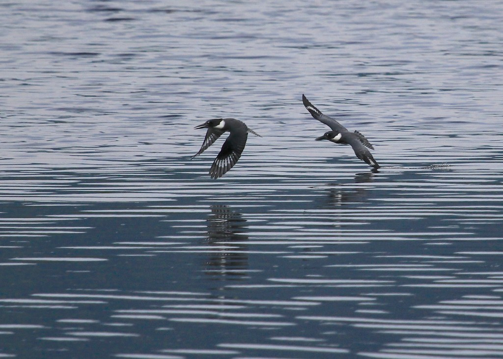 The chase is on! Belted Kingfisher at Wallkill River NWR 8/10/13.