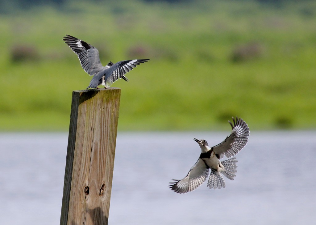 These two seemed to be having a good time. A pair of Belted Kingfishers at Wallkill River NWR 8/9/13.