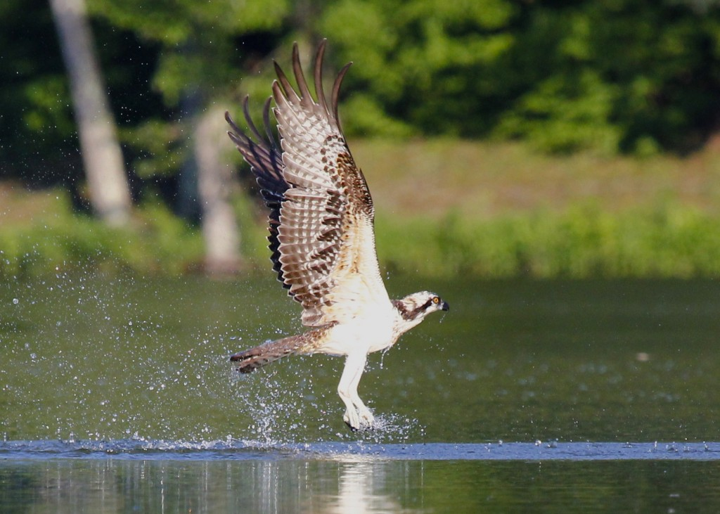 This Osprey did not catch a single fish while we were there, but none of the people fishing from the shore caught anything either, so maybe it wasn't the bird's fault.