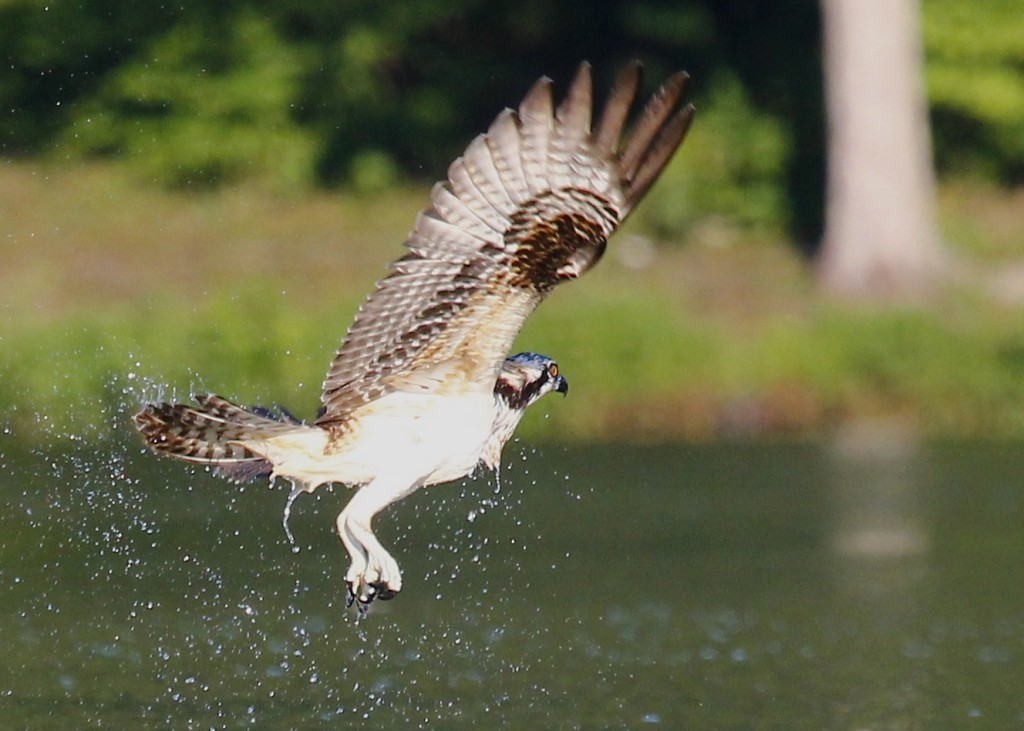 In this shot the Osprey is flying away from me, but I still like it - the water exploding off the bird and the talon all balled up.