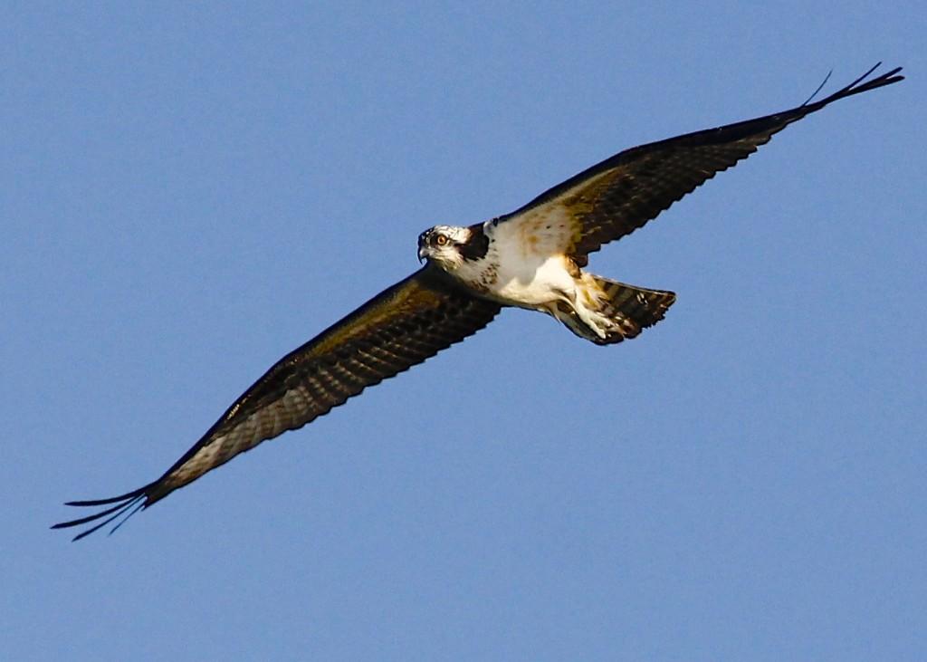 Osprey in flight over Winding Hills Park, 8/11/13.