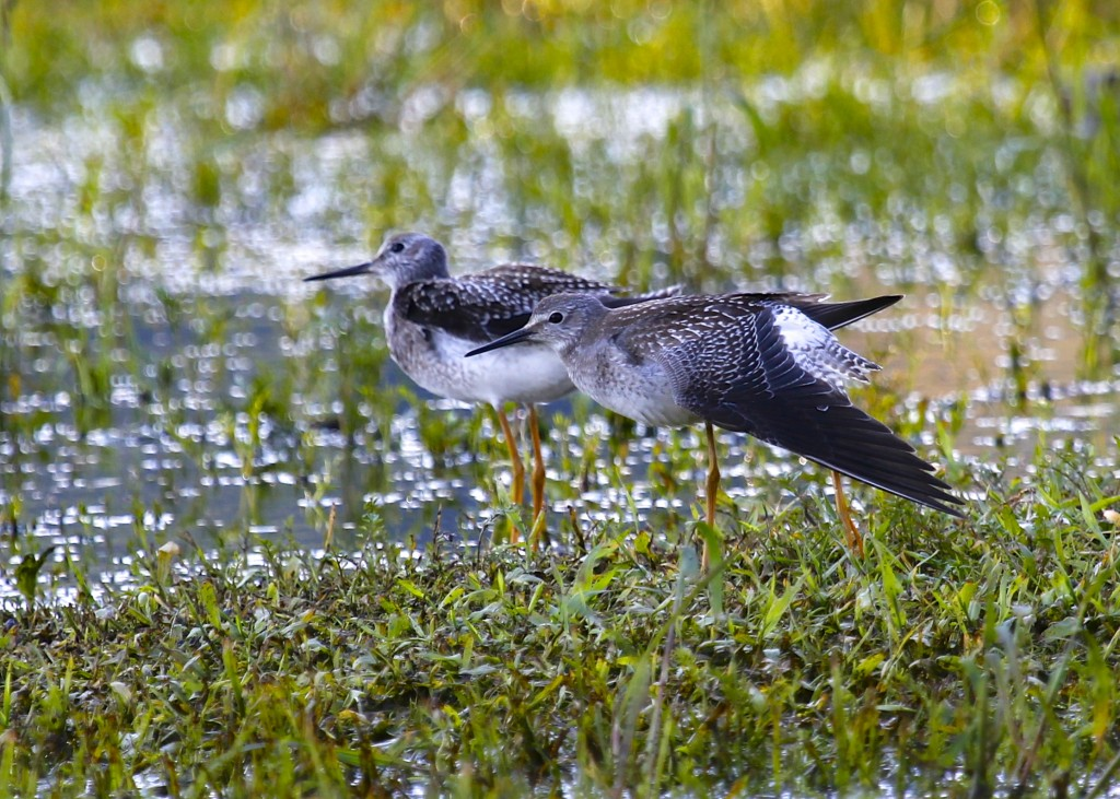 I've seen this pose before by other bird photographers. Two Lesser Yellowlegs at Benedict Farm, 8/16/13.