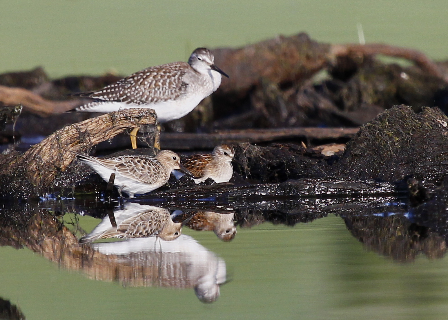 I love this shot - the reflections are nice and I like having three different species in the shot. Left to right, Baird's Sandpiper, Lesser Yellowlegs, Least Sandpiper. Morningside Park, 8/17/13.