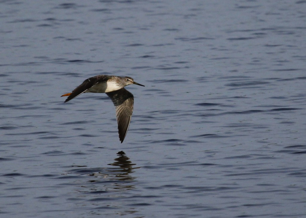 A Lesser Yellowlegs shifts position out at Wallkill River NWR, 8/22/13.