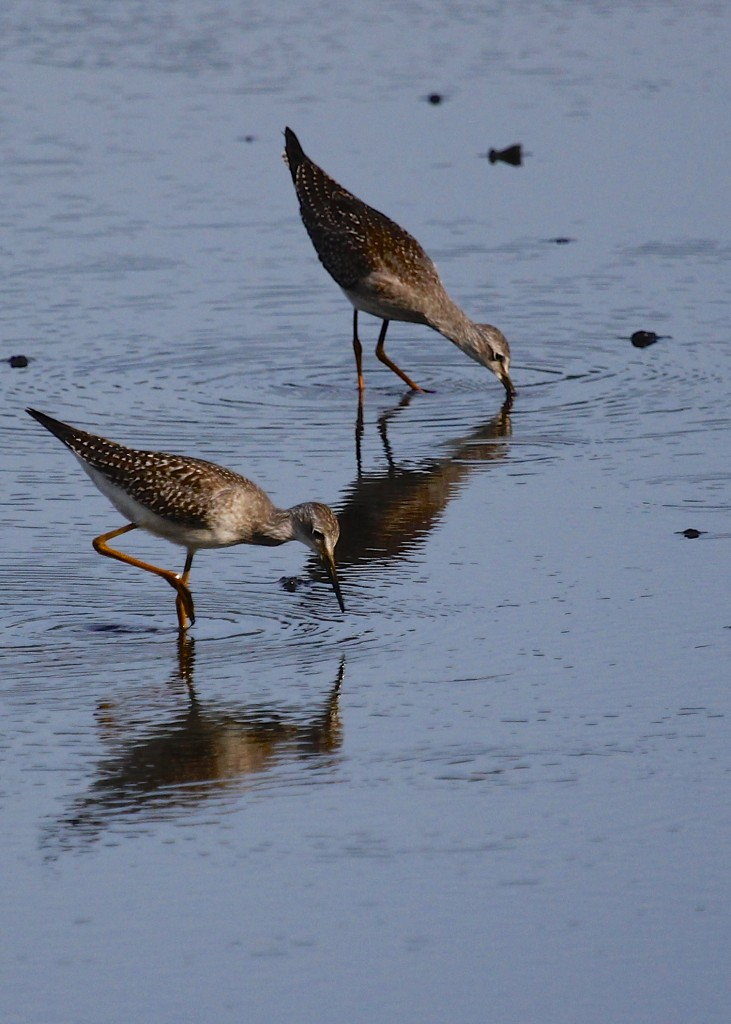 A pair of Lesser Yellowlegs at Wallkill River NWR, 8/22/13.