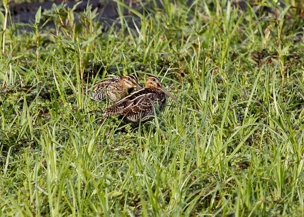 Two distant Wilson's Snipe in the grass. Heavy crop here, but a really nice bird to see. I love the pattern on the back.