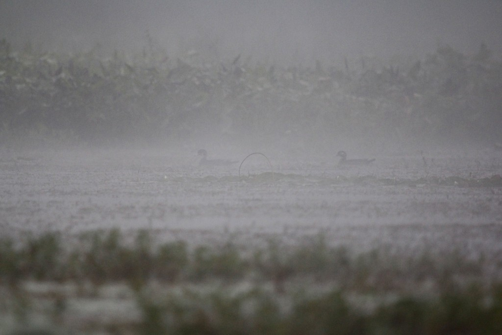 A pair of Wood Ducks through the fog. Basha Kill WMA, 8/25//13.