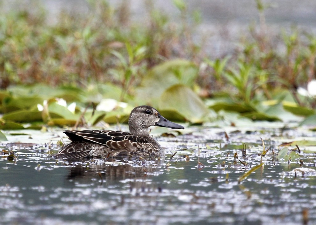 Blue-winged Teal in the channel at the Basha Kill, 8/25/13.