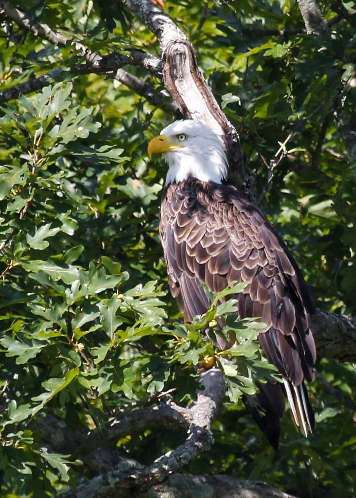 Adult Bald Eagle, Basha Kill WMA 8/25/13.
