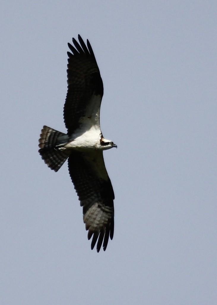 Osprey in flight. Basha Kill WMA, 8/25/13.
