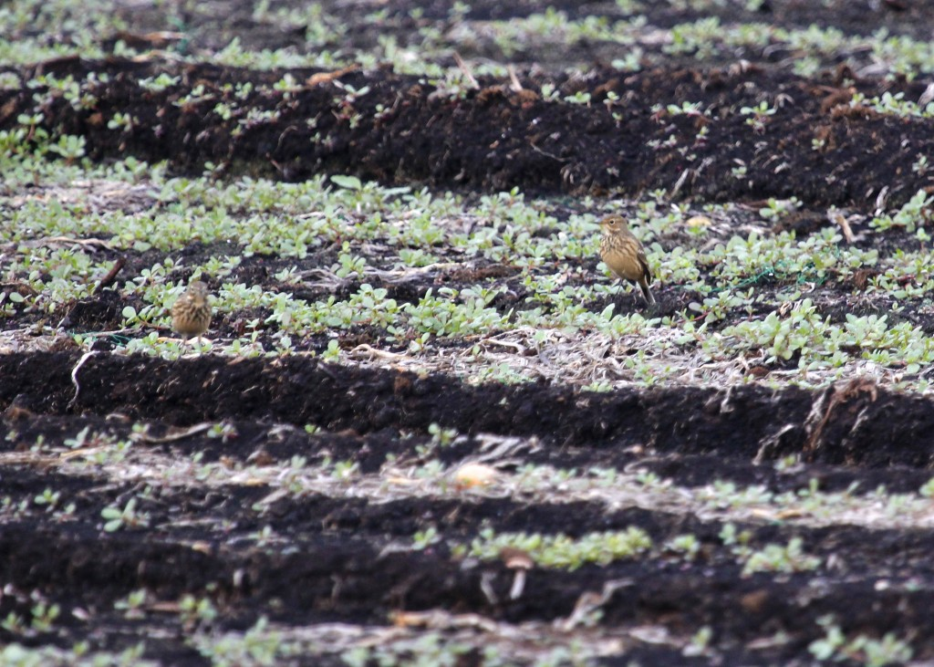 Life bird for me - American Pipits out at Pine Island Turf Nursery. I wish I'd gotten better photos!