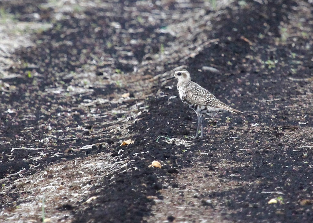 One of approximately 40 American Golden-Plovers out at the Pine Island Turf Nursery, 9/12/13.