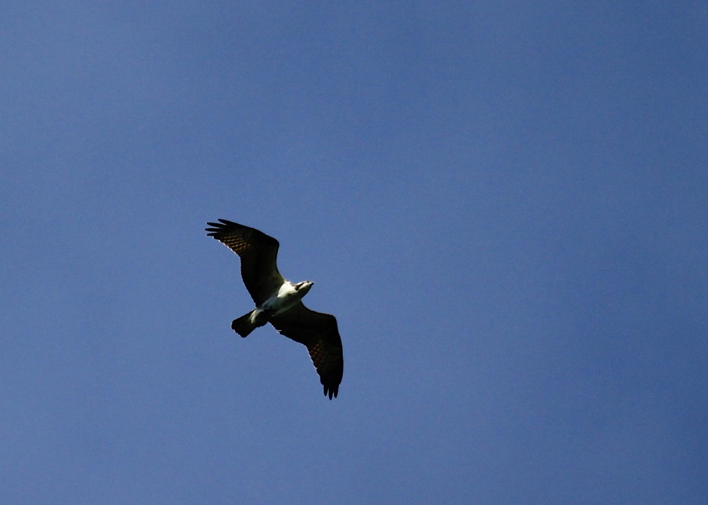 This Osprey flew right over the platform with a fish in its grasp. Mt. Peter Hawk Watch 9/14/13.
