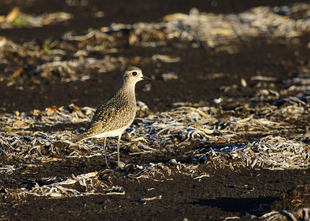 American Golden-Plover out at the Pine Island Turf Nursery, 9/14/13.