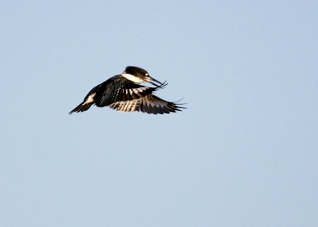 A hovering Belted Kingfisher at Wallkill River NWR, 9/18/13.