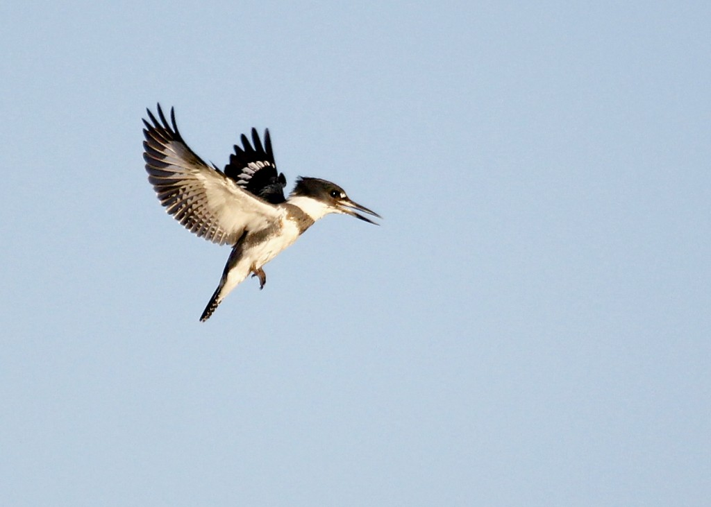 It was great fun trying to shoot this bird, Belted Kingfisher out at Wallkill River NWR 9/18/13.