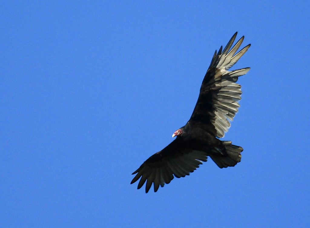 A bedraggled Turkey Vulture passes over the platform at Mt. Peter Hawk Watch, 9/19/13.