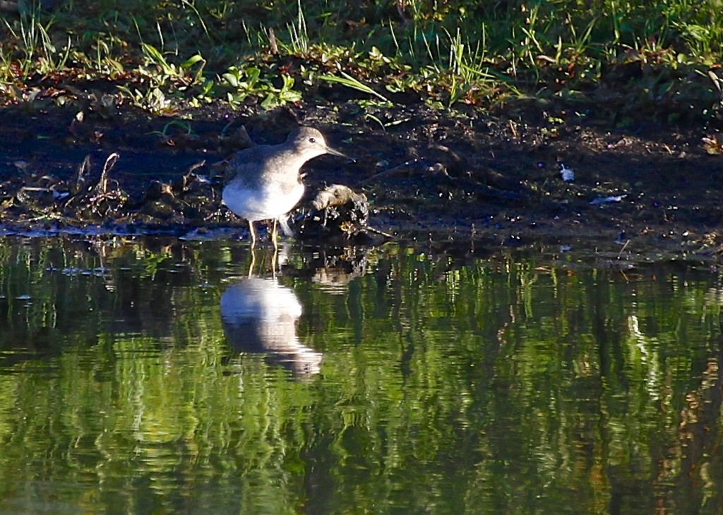 Maybe it's because I haven't seen one in a little while, but I was not sure what bird this was for a while, until I got some help from a fellow birder who joined me on the platform. Solitary Sandpiper at Wallkill River NWR, 9/19/13.