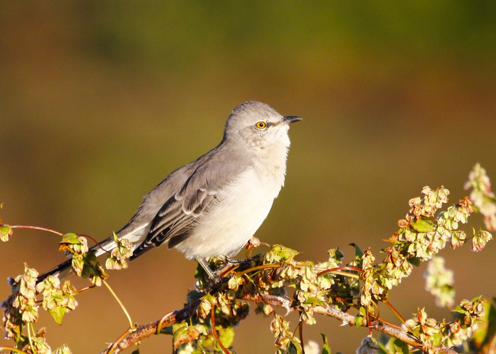 As soon as I got out of the car I snapped some shots of this Northern Mockingbird in the early morning light. Wallkill River NWR 9/22/13.