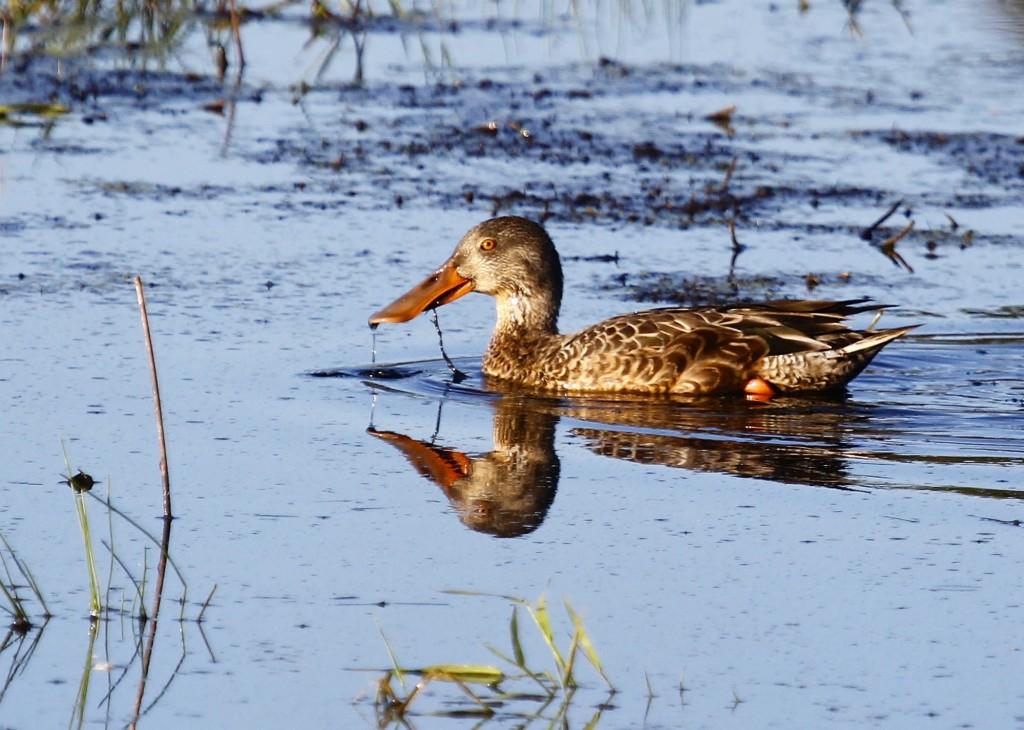 I think the Northern Shoveler is a beautiful bird. Wallkill River NWR 9/22/13.