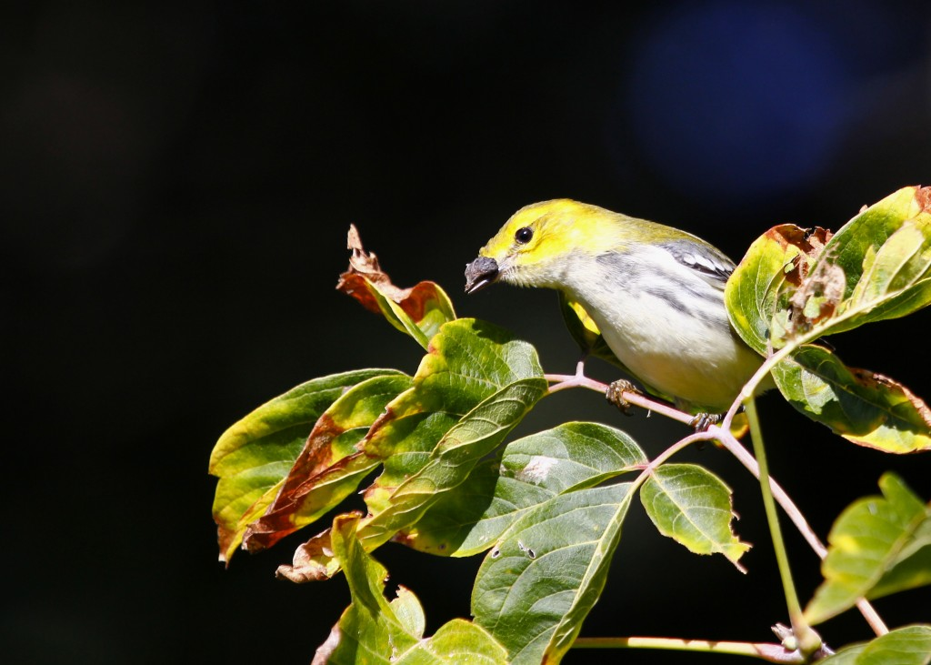 This Black-throated Green Warbler had some sort of growth on the top of its bill. Wallkill River NWR 9/22/13.
