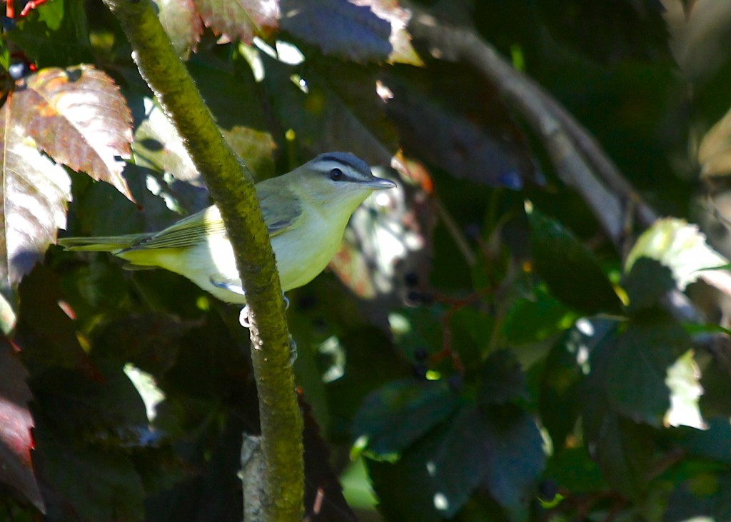 Philadelphia Vireo in the shade at Wallkill River NWR 9/22/13.
