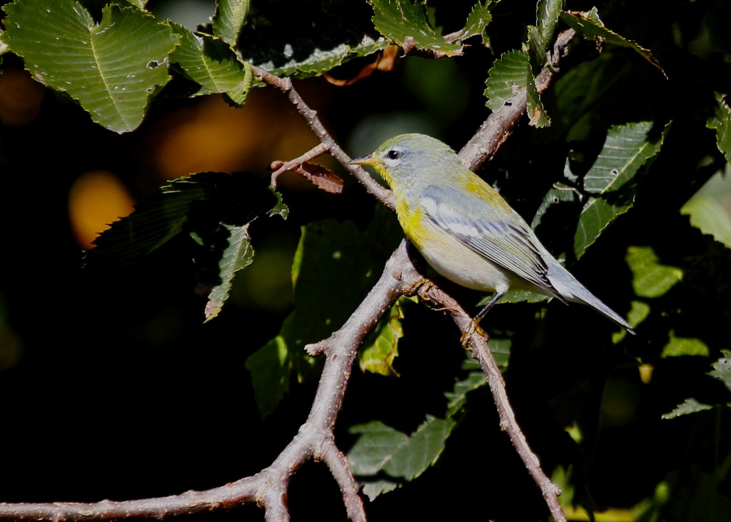 I stumbled onto a nice mixed species flock that included Black-capped Chickadees, Titmice, Black-throated Green Warblers, a Philadelphia Vireo, and this Northern Parula. Wallkill River NWR 9/22/13.