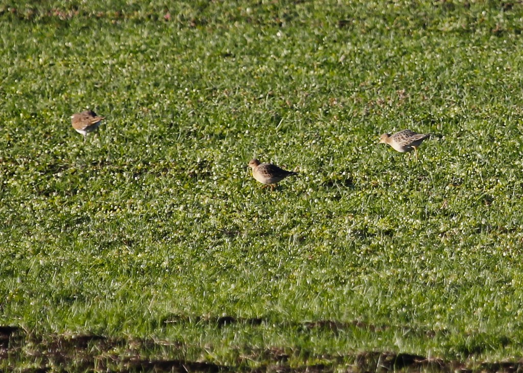 A distant shot of 2 of 3 Buff-breasted Sandpipers out at Missionland Road 9/23/13.