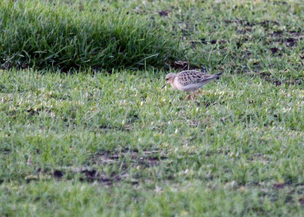I got a couple of closer photos tonight, but unfortunately it wasn't until the sun had gone over the horizon. Buff-breasted Sandpiper at Missionland Rd, 9/25/13.