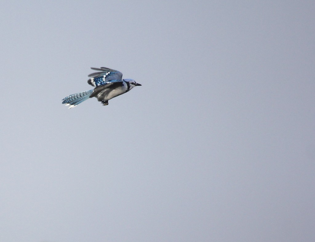 I had a decent Blue Jay flight early in the day, with 49 Blue Jays, Mt. Peter Hawk Watch, 9/28/13.