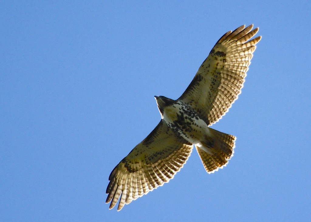 A local Red-tailed Hawk flies right over the viewing platform at Mt. Peter Hawk Watch, 9/28/13.