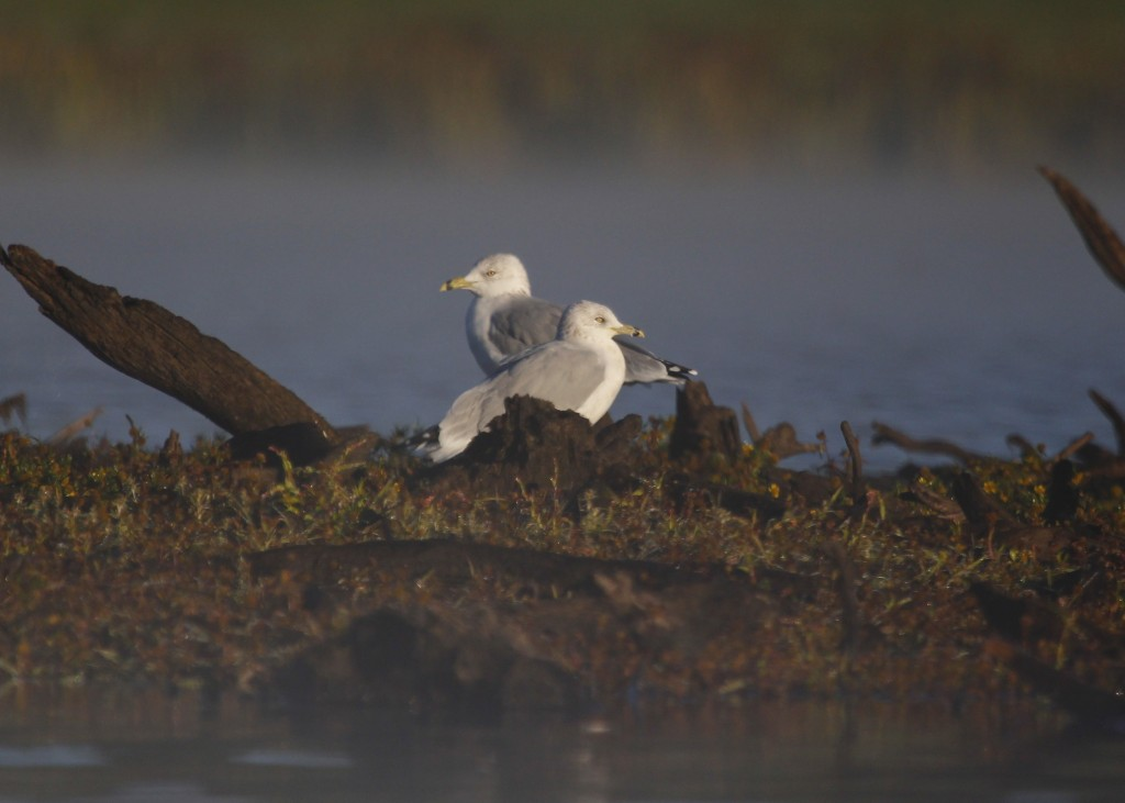 A pair of Ring-billed Gulls in the early morning mist. Morningside Park, 9/29/13.